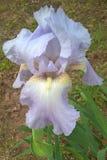 花园虹膜星期日紫罗兰 库存照片