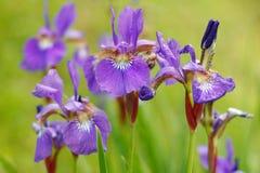 花园虹膜星期日紫罗兰 库存图片