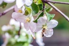 花园蜂 库存图片