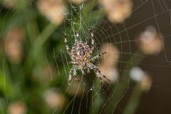 花园蜘蛛在网的中心 免版税库存照片