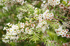 花园结构树 关闭在树的白花在森林 图库摄影