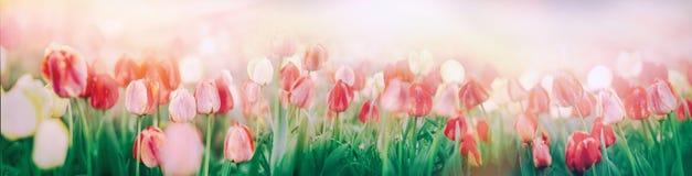 花园-郁金香在花园由太阳光芒点燃了 库存图片