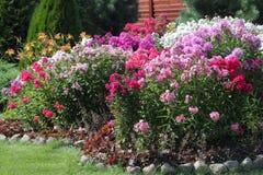 花圃开花的福禄考在庭院里 免版税库存照片