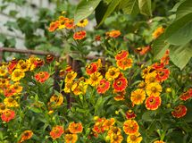 花圃 五颜六色的花 免版税库存图片
