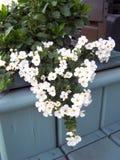 花圈被塑造的落后的Bacopa 图库摄影
