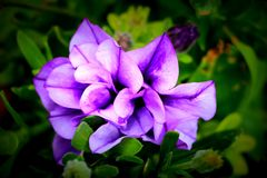 花在奥勒冈小径中心蒙彼利埃,爱达荷 免版税库存照片