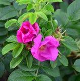 花在庭院里上升了nitidus,野生玫瑰,群上升了,玫瑰 库存照片
