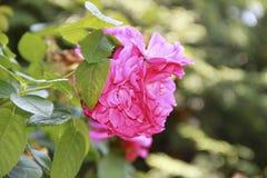 花在庭院里,加拿大 库存照片