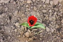 花在庭院里 郁金香 库存图片