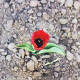 花在庭院里 郁金香 免版税库存图片