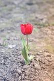 花在庭院里 郁金香 免版税图库摄影