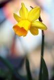 水仙花在庭院里 免版税库存照片
