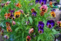 花在庭院-中提琴,紫罗兰,蝴蝶花里 库存图片