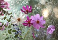 花在我的庭院里,被采取在雨以后 图库摄影