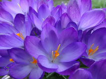花在早期的春天,番红花 免版税库存图片