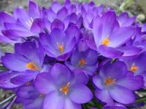 花在早期的春天,番红花 免版税图库摄影