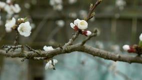 花在梨果树分支开花 影视素材
