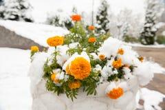 花在用雪盖的花床上 库存图片