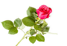 花在白色背景的一朵玫瑰 免版税图库摄影