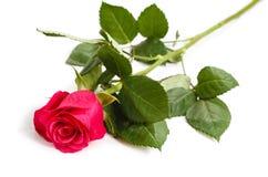 花在白色背景的一朵玫瑰 免版税库存图片