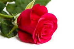 花在白色背景的一朵玫瑰 图库摄影