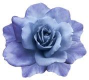 花在白色背景的被隔绝的青紫色玫瑰 特写镜头 响铃圣诞节设计要素 库存照片