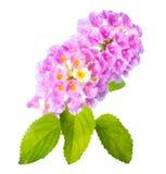花在白色隔绝的马樱丹属camara 库存照片