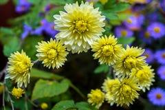 花在秋天,黄色菊花增长在庭院里扫 库存图片