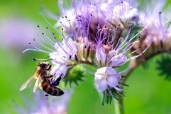 花在紫色附近的飞行蜜蜂 免版税图库摄影
