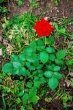 花在绿色叶子,礼物中上升了一个假日和为 图库摄影