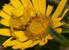 花在花的螃蟹蜘蛛 免版税库存图片