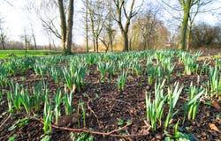 花在英国开始发芽当春天命中 库存图片