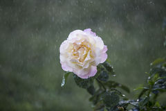 花在雨中 库存图片