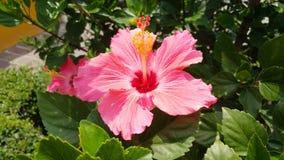 花在龙舌兰酒广场的桃红色Tulipan 库存照片