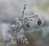 冻花在12月太阳早晨 免版税图库摄影