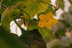 花在黄瓜植物中 免版税图库摄影