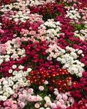 花地毯艾里斯perennis在庭院, Rufallo,拉韦洛,意大利里 库存照片