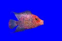 花垫铁鱼 库存图片