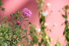 花多年生植物翠菊 免版税库存图片