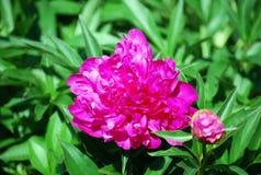 花大丽花关闭的桃红色芽 耕种的花在公园 免版税库存图片