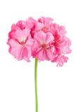 花大竺葵查出的粉红色 库存照片
