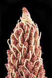 花大荚种子 图库摄影