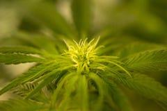 年轻花大麻 库存照片
