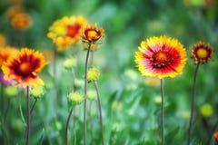 花天人菊属植物瓣红色黄色 免版税库存照片