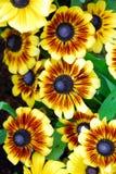 花天人菊属植物黄色 库存图片