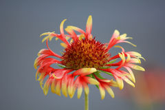 花天人菊属植物 库存照片