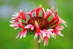 花天人菊属植物 免版税图库摄影