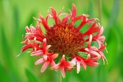 花天人菊属植物 库存图片