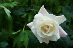 花宏观瓣照片雌蕊玫瑰色雄芯花蕊超级白色 免版税库存照片