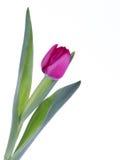 花室外红色春天郁金香 库存照片